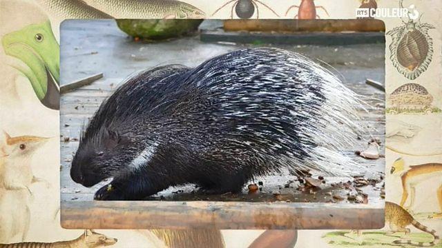 Coitus Animalus - Le porc-épic