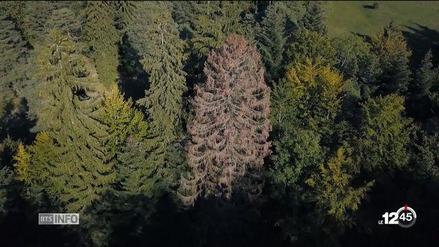 Forêts suisses: inquiétude des professionnels qui craignent une catastrophe due aux ravages du bostryche. [RTS]