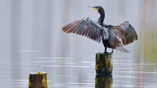 Les pêcheurs suisses voudraient réguler les populations de cormorans, oiseaux accusés de prélever trop de poissons dans les lacs. [Patrick Pleul - AFP / DPA]