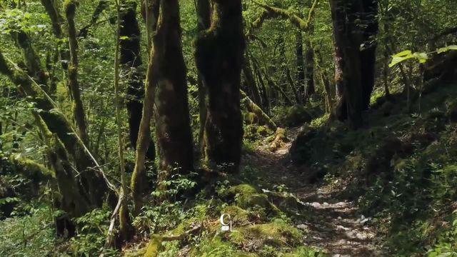 La forêt, rôle principal du dernier film de Claude Schauli. [RTS]