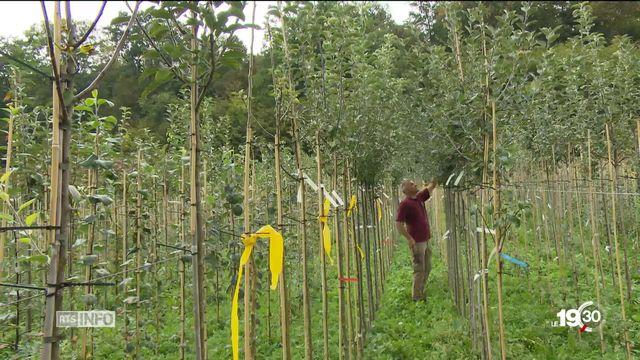 Les arbres à haute tige se font de plus en plus rares en Suisse [RTS]