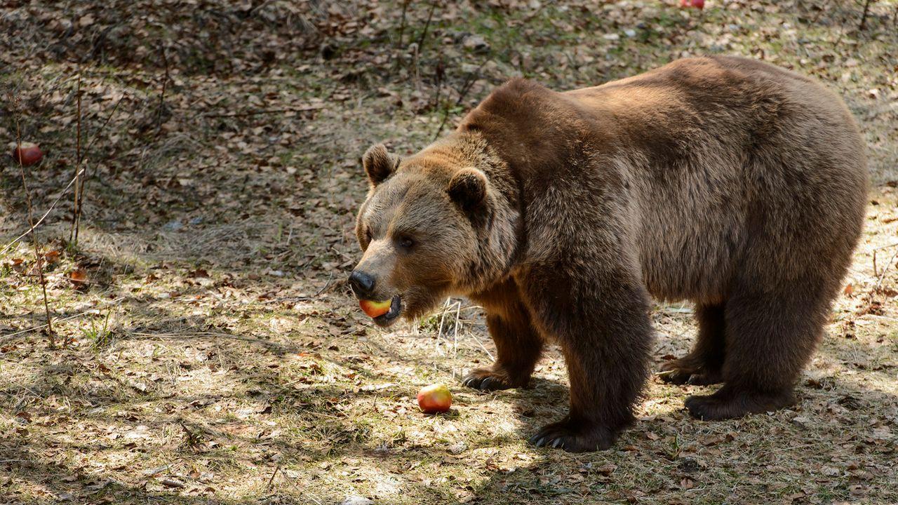 Les autorités font un geste financier pour les ours et les loups, mais pas pour les renards. [Jean-Christophe Bott - Keystone]