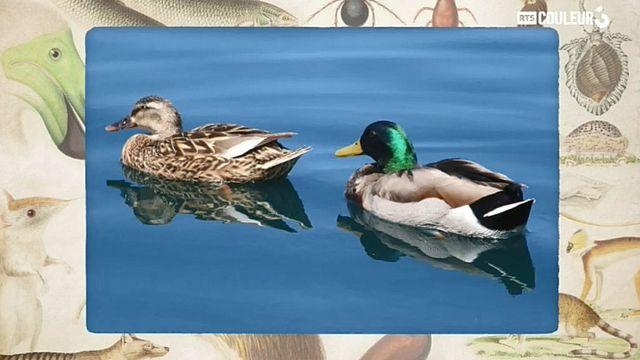 Coitus Animalus - Le canard
