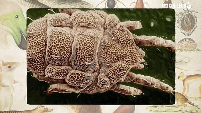 Coitus Animalus - L'acarien