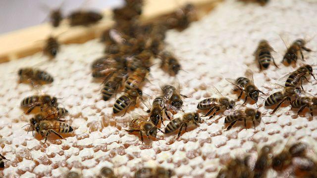 Des chercheurs suisses ont développé un test de santé pour les abeilles afin de prévenir les effets des pesticides. [Oliver Berg - Keystone]