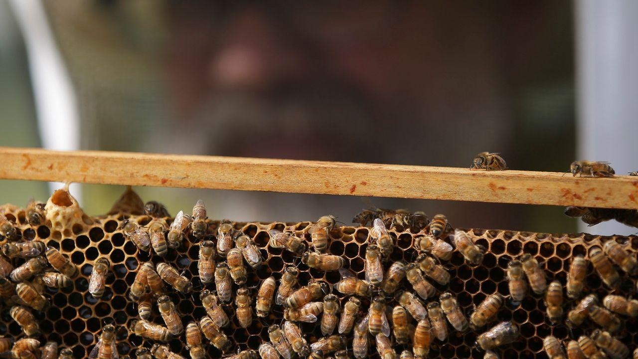 Les pesticides, notamment les néonicotinoïdes, attaquent le système nerveux des abeilles. [John Minchillo - AP/Keystone]