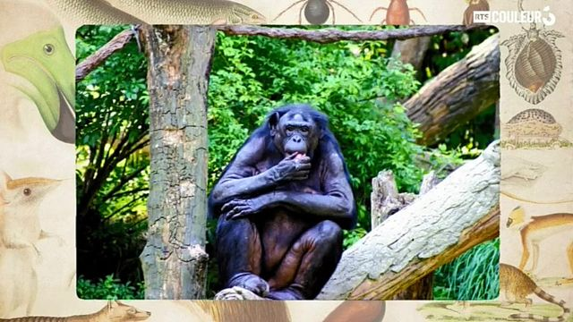 Coitus Animalus - Le bonobo
