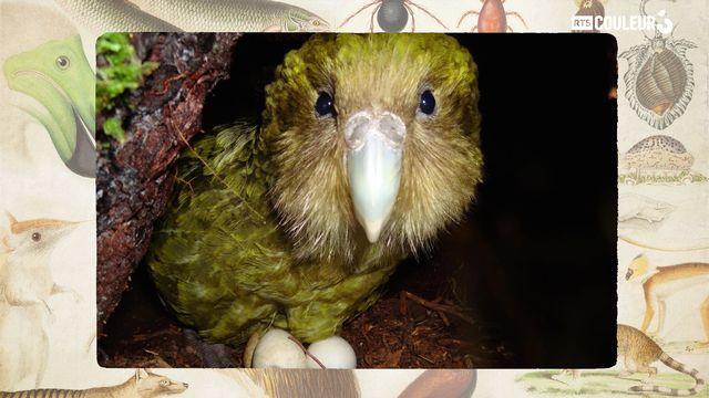 Le kakapo. [RTS]