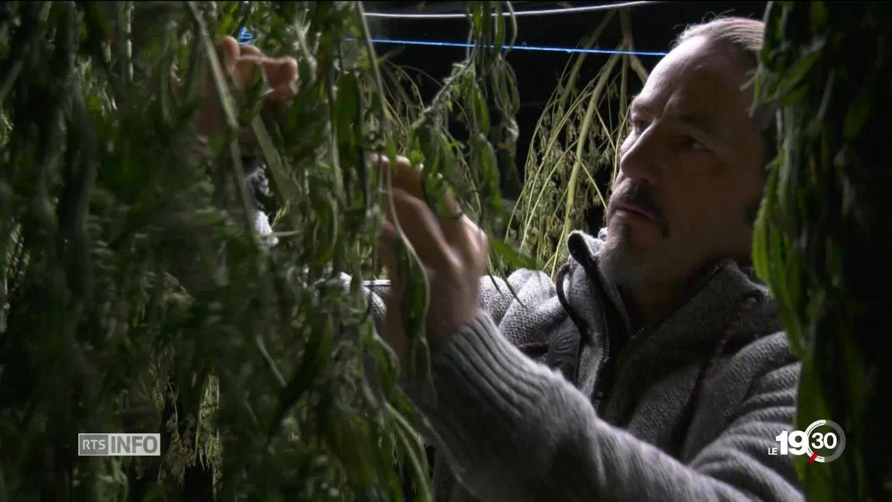 En plein coeur du Lavaux, l'odeur tenace d'une plantation de chanvre crée une guerre de voisinage. [RTS]