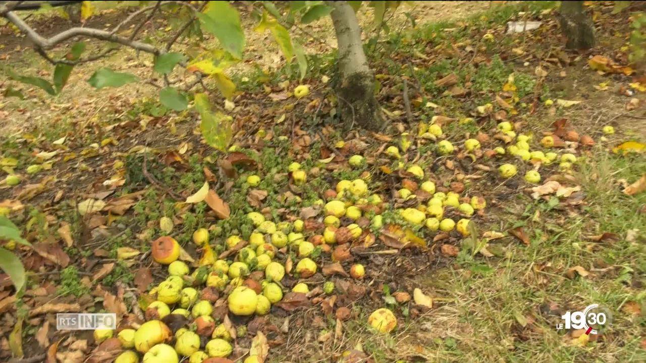 Sécheresse: 5 à 10% des pommes récoltées cette année ne sont pas assez grosses pour être commercialisées [RTS]