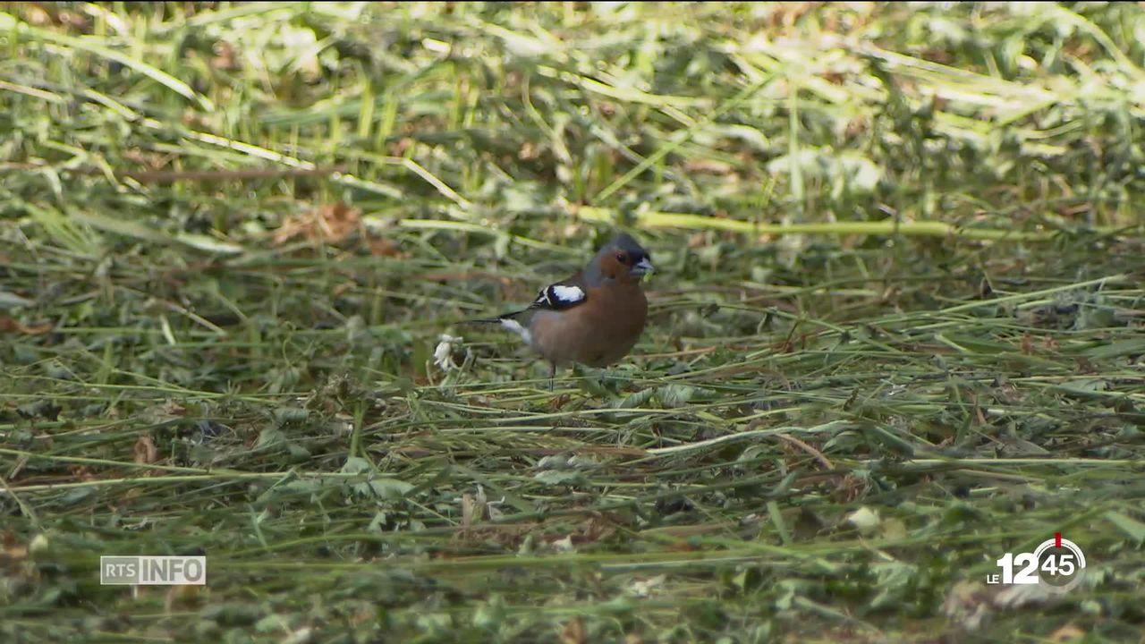 La chute du nombre d'oiseaux nicheurs en Suisse est vertigineuse, moins de 40% en 20 ans. Des mesures sont prises. [RTS]