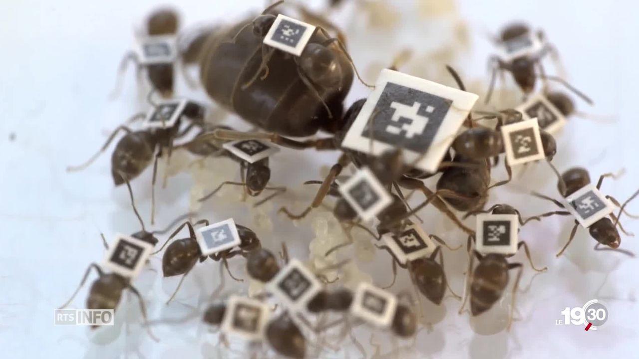 Moeurs des fourmis: en cas d'épidémie elles se mettent en quarantaine. [RTS]