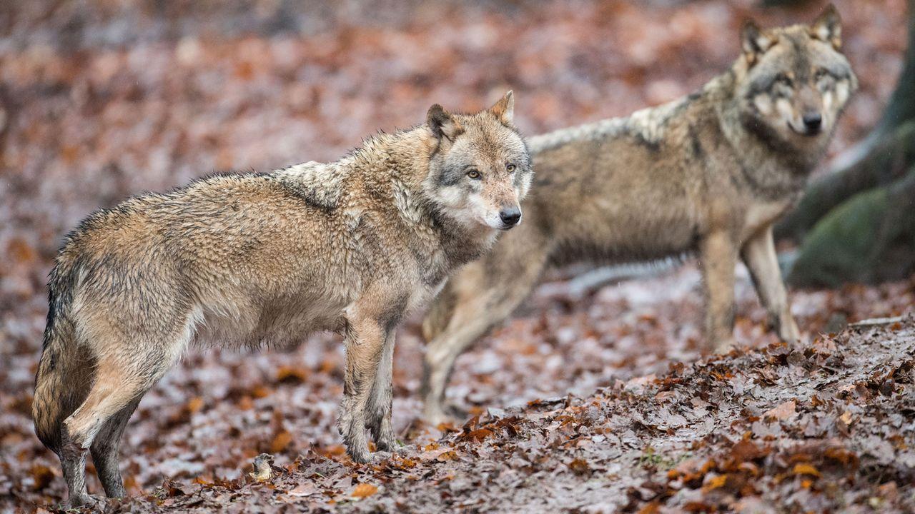 Des loups photographiés en Allemagne en novembre 2017. (Image d'illustration) [Lino Mirgeler - DPA/Keystone]