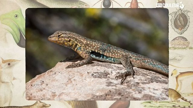 Coitus Animalus - L'uta stansburiana