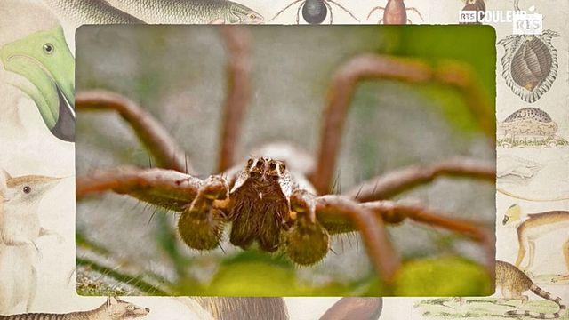 Coitus Animalus - La pisaure admirable