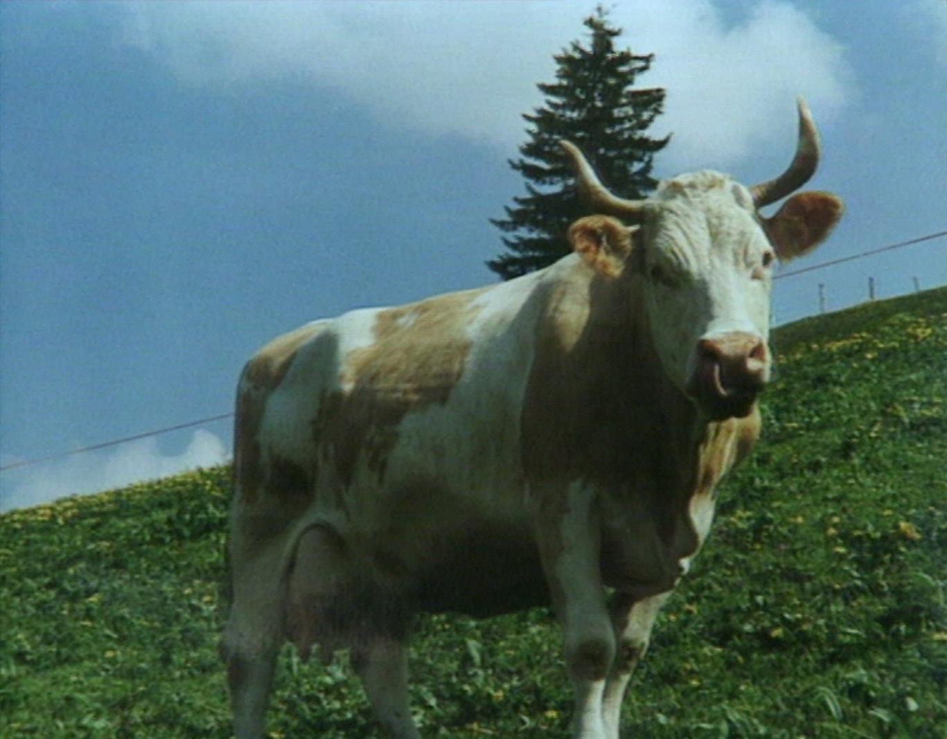 Une histoire vachement suisse