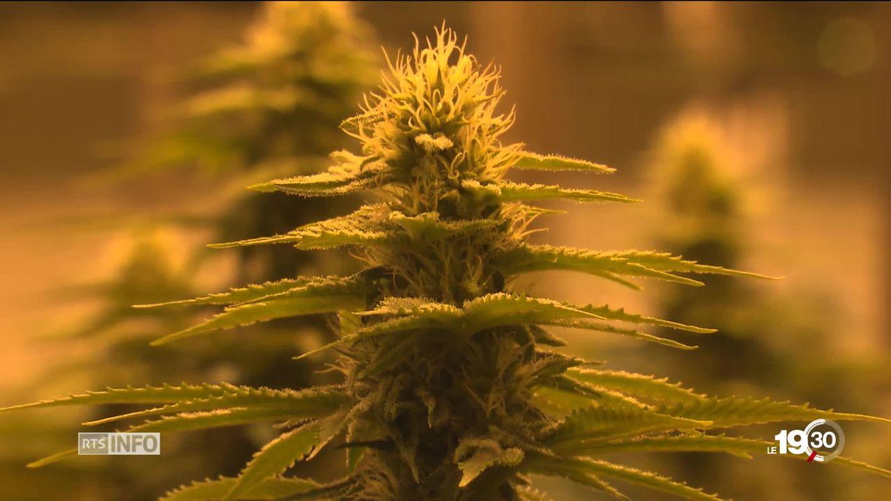 Le marché du cannabis légal est en plein boom en Suisse. La surproduction a fait chuter les prix, mais le marché est solide. [RTS]