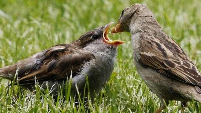 Une étude neuchâteloise a révélé la présence d'insecticides dans les plumes de moineaux. [STEFFEN SCHMIDT - Keystone]