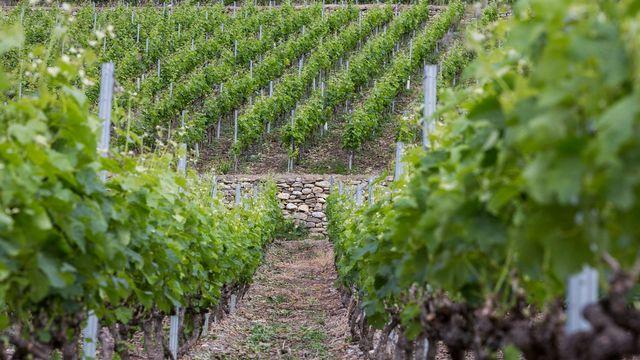 Des vignes en terrasse en Valais. [Dominic Steinmann - Keystone]