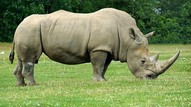 Rhinocéros [Dennis Jarvis - Dennis Jarvis]