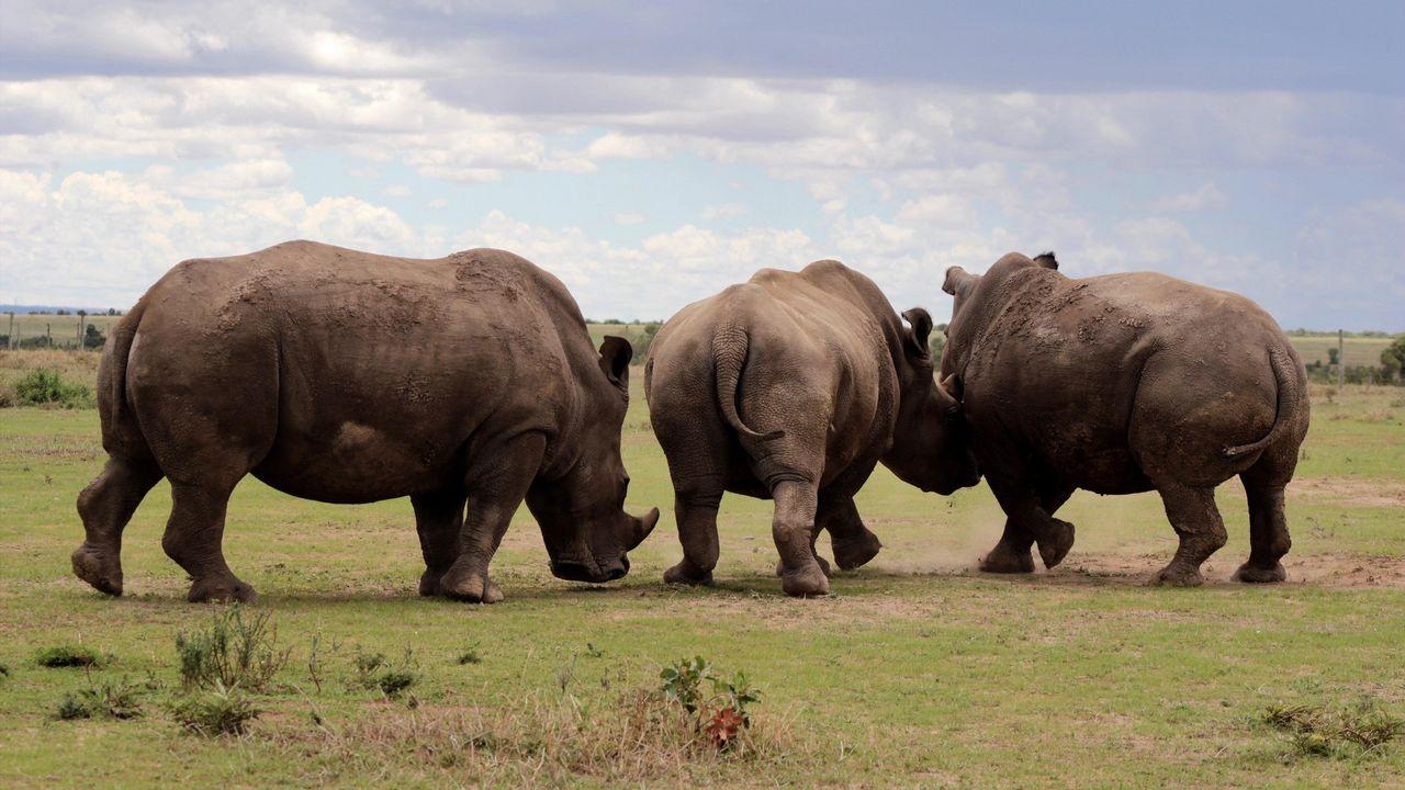 Les trois derniers rhinocéros blanc du Nord au Kenya en 2017. ANDREW WASIKE/ANADOLU AGENCY AFP [ANDREW WASIKE/ANADOLU AGENCY - AFP]