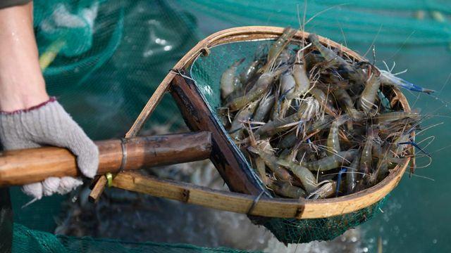 Des crevettes capturées en Chine (image d'illustration). [Huang Zongzhi - APF/Xinhua]