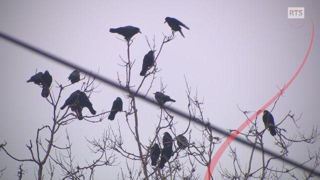 La guerre des oiseaux [RTS]