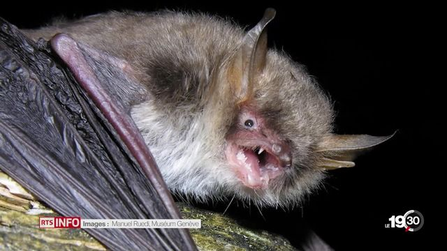 Une nouvelle espèce de chauve-souris a été découverte à Genève [RTS]