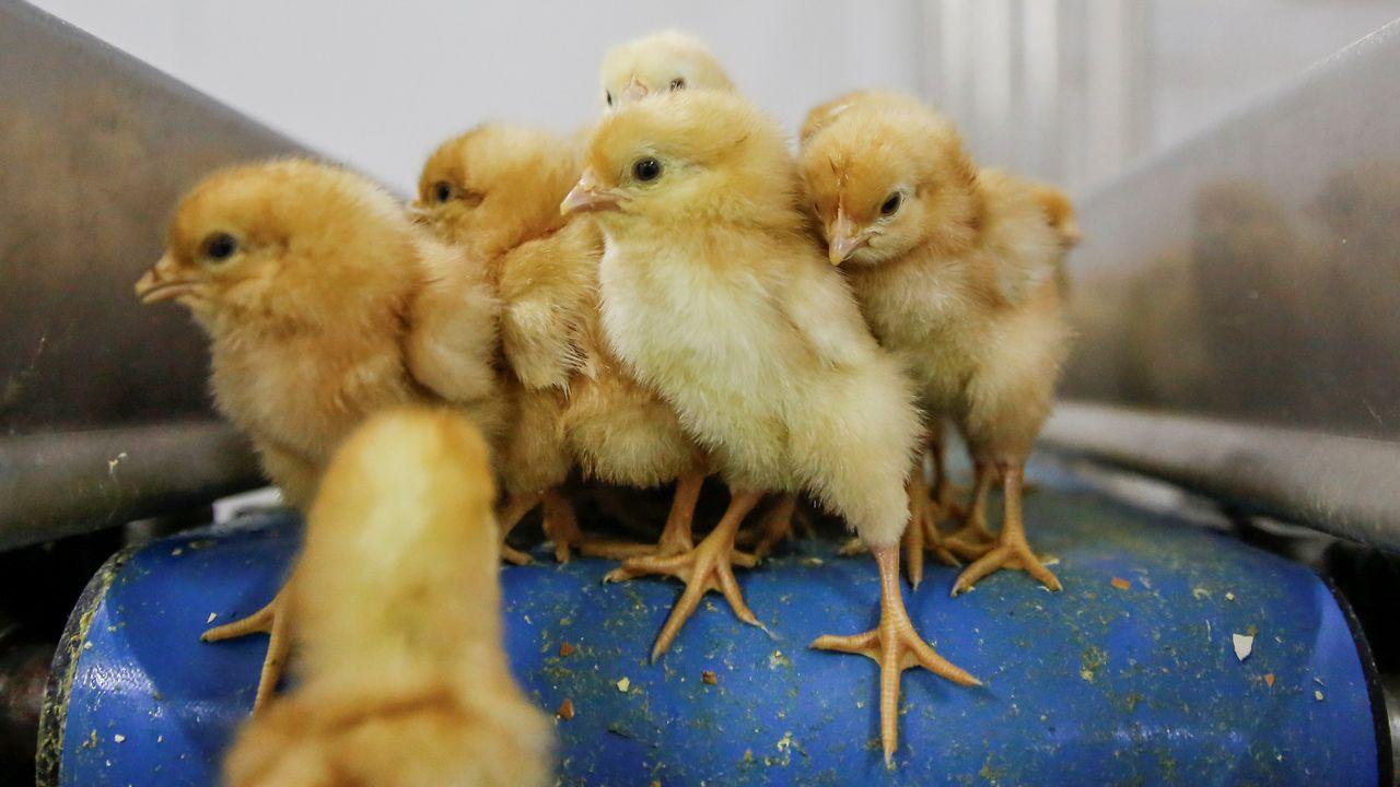 Le Conseil fédéral soutient l'interdiction du broyage de poussins vivants. [Thomas Peter - Reuters]