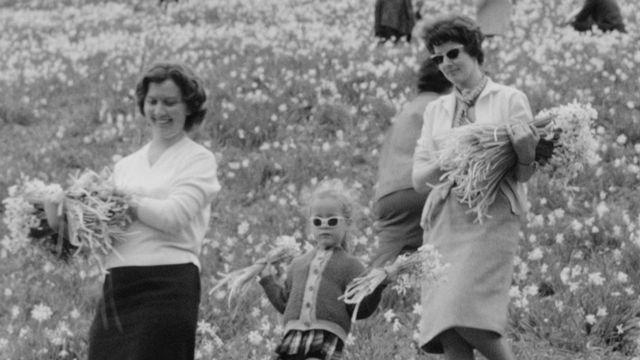 La cueillette des narcisses sur les hauts de Montreux en 1961. [RTS]