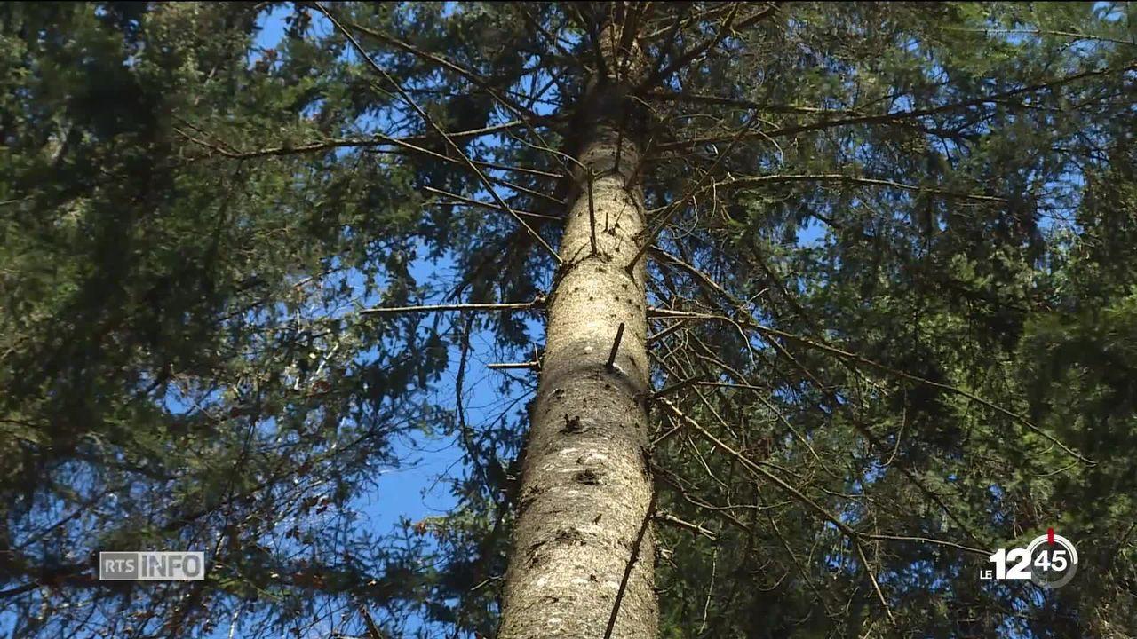 Dans le canton de Soleure des propriétaires de forêts couperont moins d'arbres pour lutter contre le CO2. [RTS]
