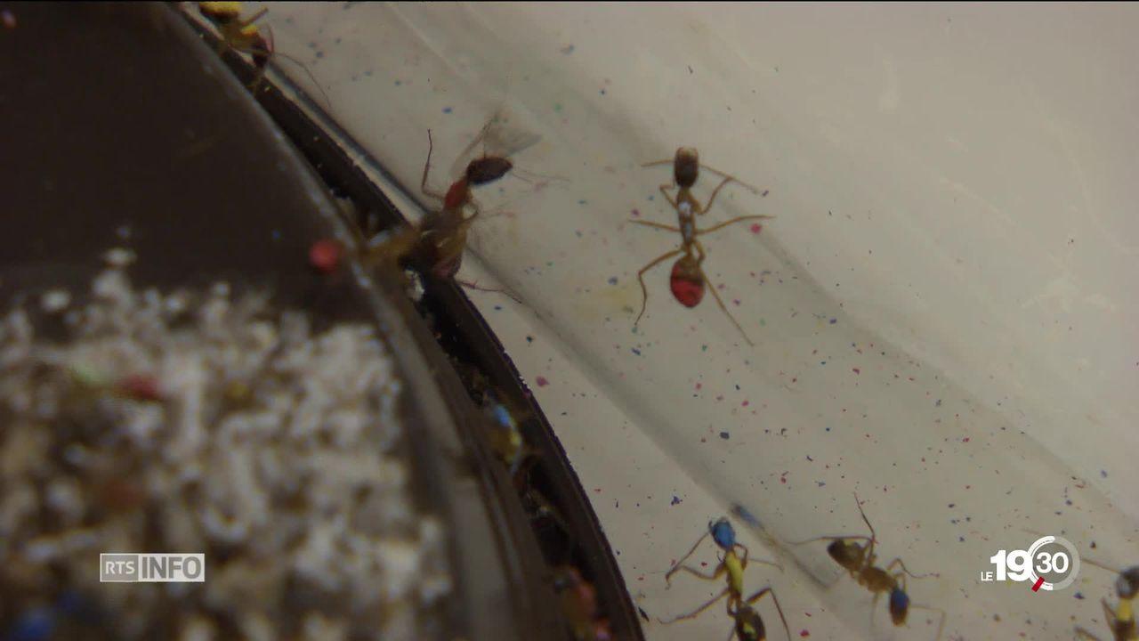 Des chercheurs lausannois découvrent le mécanisme de répartition des tâches entre les fourmis selon l'âge [RTS]