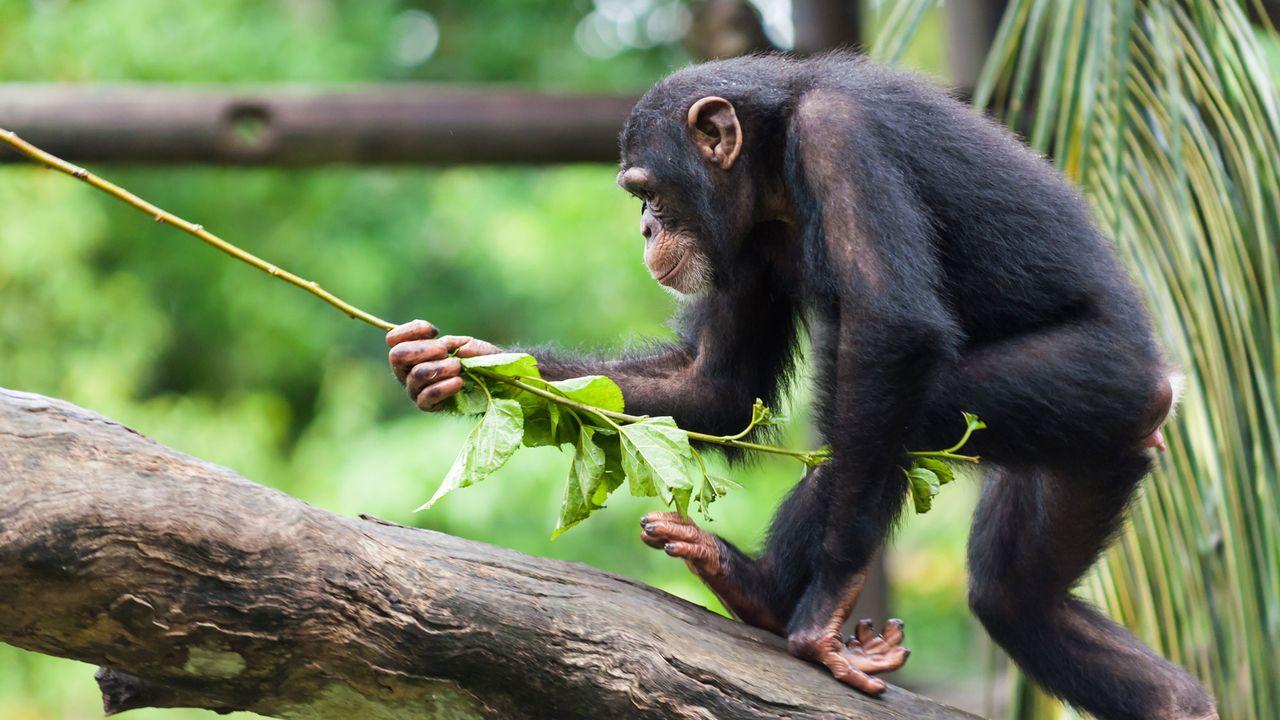 Les chimpanzés du Congo et d'Ouganda utilisent des plantes médicinales. jdavenport85 Fotolia [jdavenport85 - Fotolia]