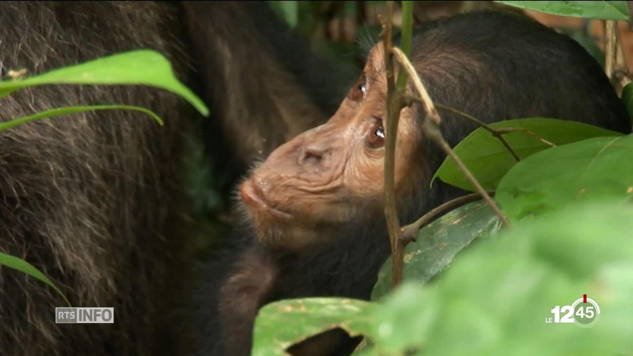 L'Université de Neuchâtel a participé à une étude sur les chimpanzés : l'impact de l'homme leur est fatal [RTS]