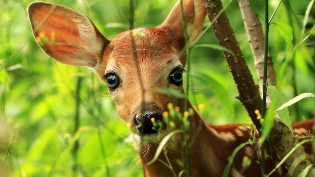 Un braconnier condamné à regarder Bambi. [- - Shutterstock]