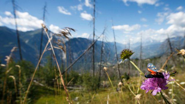 Un papillon se pose sur une fleur dans une forêt de Loèche-les-Bains. [Valentin Flauraud - Keystone]