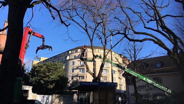 Abattage d'un tilleul au Bois d'Amour à Vevey. [Julie Henoch - RTS]