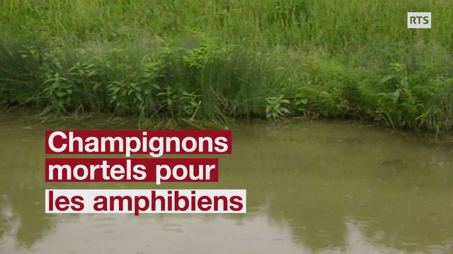 Un champignon décime les grenouilles sur plusieurs continents [RTS]