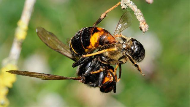 Un frelon asiatique en train de piquer une abeille. [Biosphoto/Michel Rauch - afp]