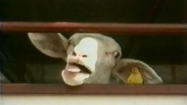 Le transport des animaux de boucherie en Europe est inconvenable.