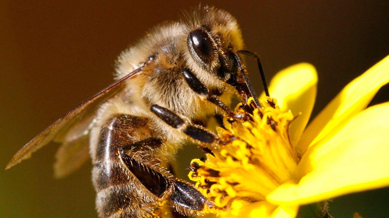 Les abeilles solitaires sur des toits végétalisés à Lausanne [Steffen Schmidt - Keystone]