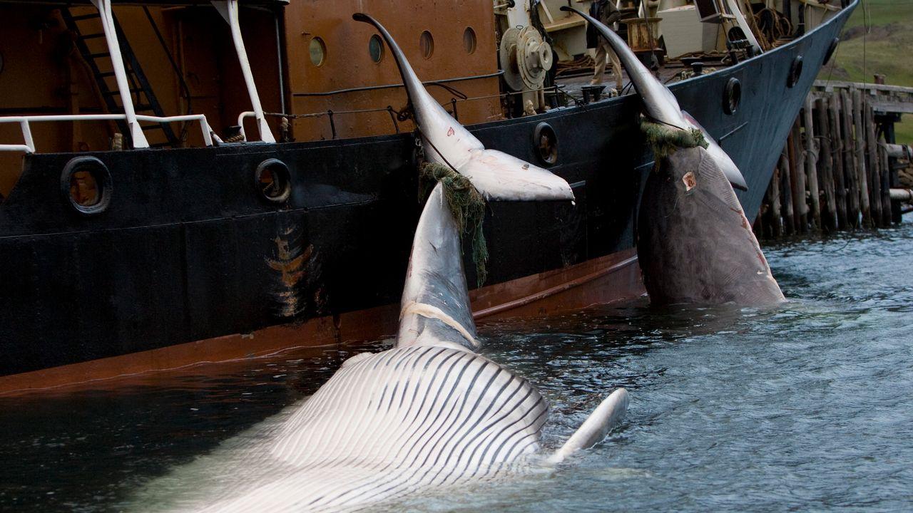 Des carcasses de baleines attachées à un bateau, le 19 juin 2009, dans les eaux islandaises. [Ingolfur Juliusson - Reuters]