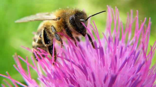 L'abeille est l'insecte pollinisateur le plus emblématique. X-etra Depositphotos [X-etra - Depositphotos]