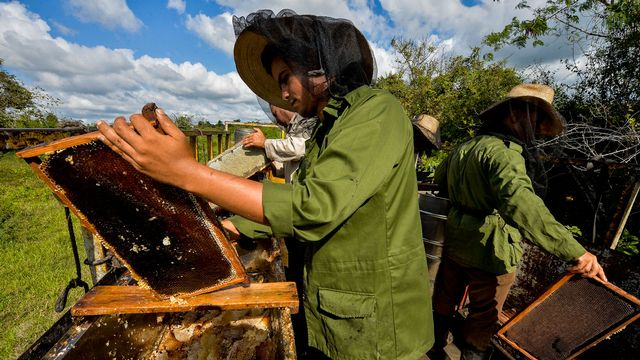 Les apiculteurs cubains appliquent le concept d'agroécologie. [Yamil Lage - AFP]