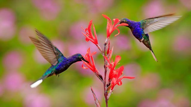 Les colibris se sont des agents pollinisateur de certaines fleurs. OndrejProsicky Depositphotos [OndrejProsicky - Depositphotos]