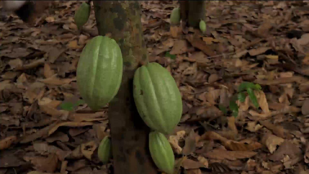 Le cacao illégal de Nestlé [RTS]