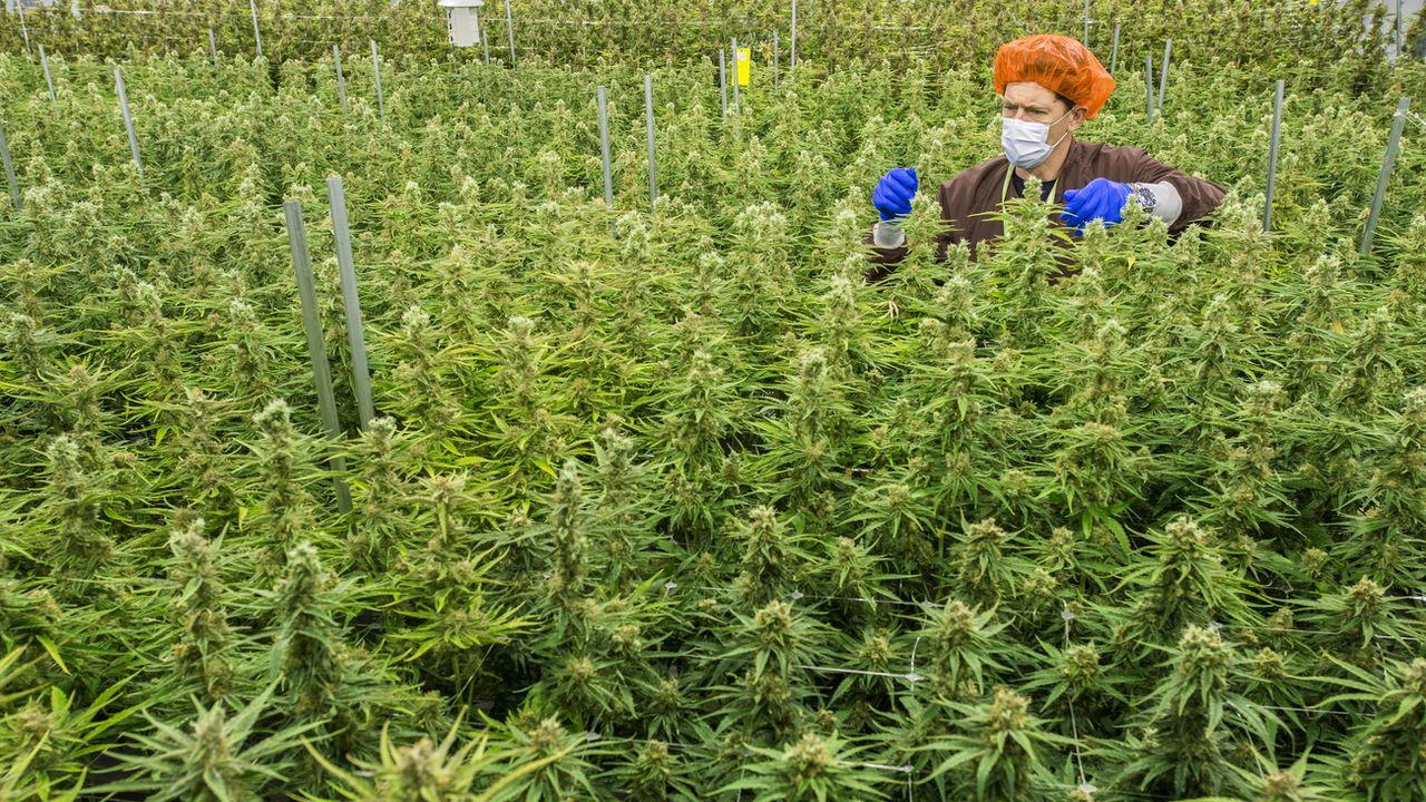 Darren Karasiuk, employé de MedReleaf, une entreprise productrice de cannabis médical, à Markham au Canada. [Warren Toda - AFP]