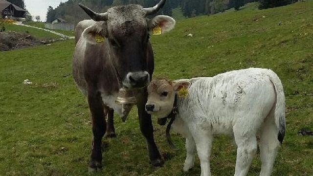 Victoria et Alex, son petit veau dans le pâturage de la famille Kalt à Petit Val dans le Jura Bernois. [Vera Kalt]