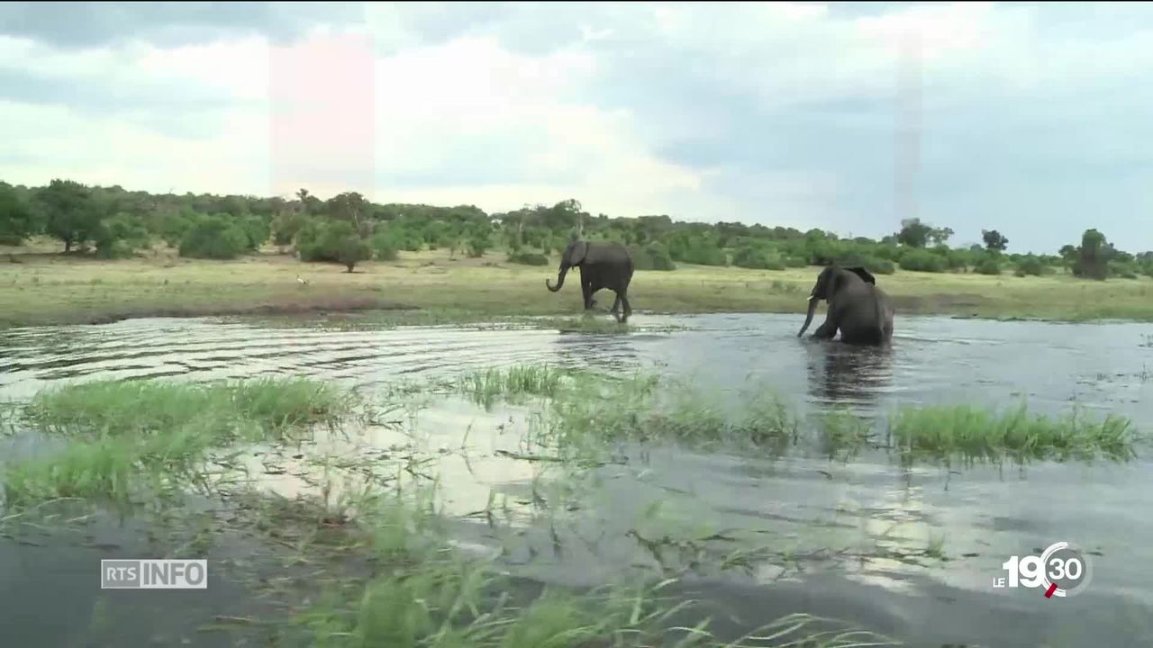 Le braconnage d'éléphants est en baisse après avoir atteint un pic en 2011 mais cette espèce reste menacée. [RTS]