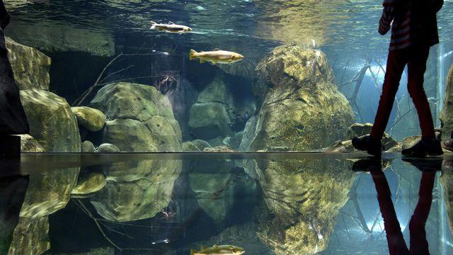 Un visiteur passe devant un aquarium d'Aquatis à Lausanne. [Laurent Gillieron - Keystone]